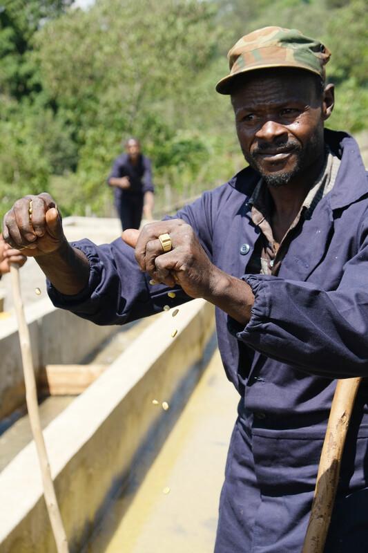 Organic Natural Banti Nenga Hambela Wamena